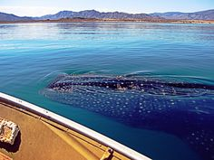 Whale Shark by ralphwyer on 500px - Sea of Cortez, Baja California, Mexico