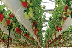 Are you thinking of starting your own hydroponics garden? When it comes to DIY hydroponics, you can Aquaponics Greenhouse, Aquaponics Plants, Hydroponic Growing, Aquaponics System, Hydroponic Gardening, Homemade Hydroponics, Water Plants, Cool Plants, Growing Herbs