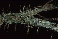 Taeniophyllum reijnvaanae