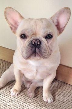 Frenchiebutt on Instagram such a cutie blonde French bulldog