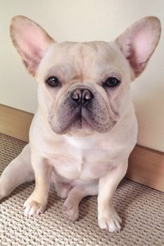 Frenchiebutt on Instagram such a cutie blonde French bulldog