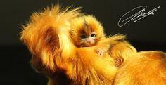 Golden Lion Tamarin Habitat | 20130527 - CS3_0047 - E - SIG