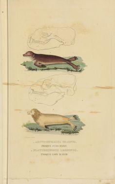 Sciences naturelles - Gravures Histoire Naturelle - Platyrhinchus leoninus - Phoque lion marin