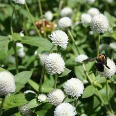Gomphrena (Gomphrena Globosa White) - Globe Amaranth is easy-to-grow in the sun-drenched garden when starting from Gomphrena seed. This plant is wonderfully res