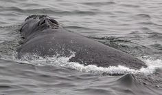 Ottawa announces $26 million for noise reduction research to help right whales