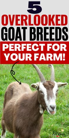 Are you new to raising goats and still looking for the perfect goat breed to raise on your farm or homestead? Here are 5 overlooked, lesser known goat breeds that might just be perfect for you! Feeding Goats, Raising Goats, Goat Shelter, Show Goats, Nubian Goat, Goat Care, Nigerian Dwarf Goats, Goat Farming, Baby Goats
