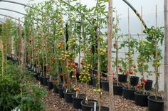 10 Steps To Get 50-80 Pounds Of Tomatoes From Every Plant You Grow... - http://www.ecosnippets.com/gardening/50-80-pounds-of-tomatoes/