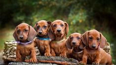 Curious what it's like to own a doxie? We look at both long and short haired varieties of one of our favorite dogs: The dachshund (aka weiner dogs)! Pomeranian Puppy For Sale, Puppies For Sale, Corgi Puppies, Pekingese Puppies, Spaniel Puppies, Beagle Puppy, Terrier Puppies, Small Dog Breeds, Small Dogs