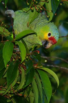 Red-lored Parrot (Amazona autumnalis), Tikal, Guatemala.