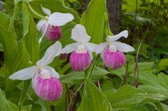Lady's Slipper Flower