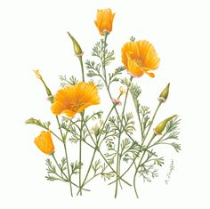 Gilly Shaeffer Bagsc News California Poppy Botanical Drawing 1202 1200 - rescuedesk. California Poppy Drawing, California Poppy Tattoo, Illustration Blume, Watercolor Illustration, Botanical Drawings, Botanical Prints, Illustration Inspiration, Poppies Tattoo, Plant Drawing