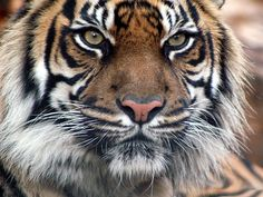 Tigers: Free Photos & Wallpaper