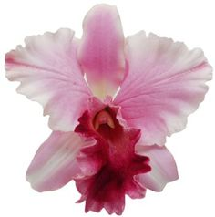 Cattleya Orchid - Baby Pink
