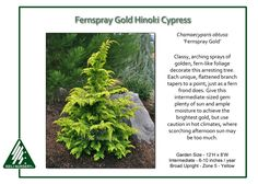 """Fernspray Gold Hinoki cypress, 2016 Steins, bought as a """"fairy garden"""" size (6"""") and temporarily put in the ground near the lilac.  Not sure what to do with it yet."""