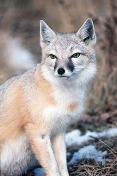 Swift Fox by Dr. Wayne Lynch