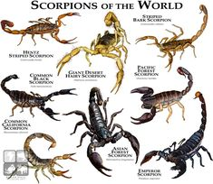 Scorpions of the World von rogerdhall … – Tiere Skorpione der Welt von rogerdhall Reptiles And Amphibians, Mammals, Animals Of The World, Animals And Pets, Beautiful Bugs, Beautiful Pictures, Animal Facts, Bugs And Insects, Wildlife Art