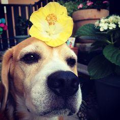 #beagle #hibiscus #flower #dog #on the head | OnInStagram