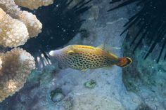 Hawaiian fantail filefish