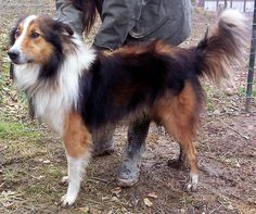 b33fdove:  Beautiful old style Scotch Collie.
