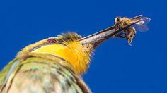 """""""Bee versus bee-eater"""" (Apis capensis and Merops hirundineus) in Kgalagadi Transfrontier Park, Botswana/South Africa ©Warren Fleming"""
