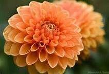 peach flower - Bing Images
