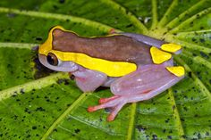 Upper Amazon tree frog (Dendropsophus bifurcus) is purple with yellow spots. The colors in nature are amazing.