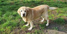 Główna / Twitter Labrador Retriever, Twitter, Dogs, Animals, Labrador Retrievers, Animales, Animaux, Doggies, Animais