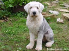 We've had four Old English sheepdogs, and they are just terrific dogs.  If you want a big dog to cuddle with, this is the one.  The only down side - you have to keep them trimmed or groomed.  But that's a small price to pay for a great dog