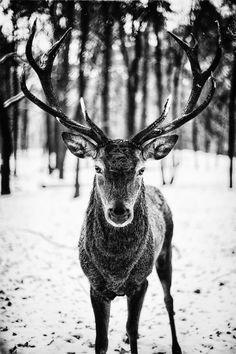 Hirsch in schwarzweiß