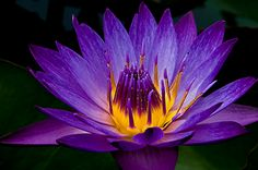 http://nelsonwatergardens.com/wp-content/uploads/2011/03/lindsey-Woods-4.png The Lindsey Woods is #nelsonwatergardens own waterlily. When you buy a Lindsey Woods waterlily you also are helping donate to cancer research at Texas Children's Hospital #NWG