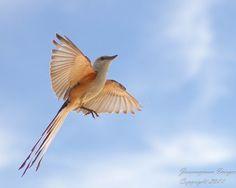 scissortail flycatcher...yeah that's my state bird