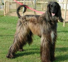 Afghan Hound. They are members of the hound group. They are great hunting dogs and sighthounds. They stand at 25-27 inches at the shoulder and weigh about 50-60 pounds. Winners: 1959 and 1983.