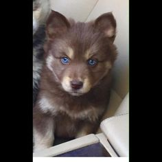 Basically my future dog Brown Pomsky with blue eyes