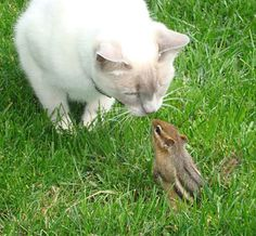 ,,,getting to know you,,,, Our cat got half a chipmunk tail this summer when the chippy made the mistake of coming into the house. Cats are very territorial! Now we call the chippy, stumpy!