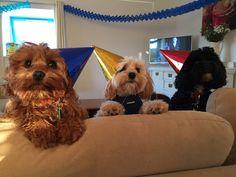 Happy birthday Cavapoo puppy