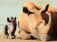 In South Africa, 3 rhinos are butchered every 2 days for their horns to feed illegal trade into Asia.