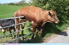 Cow on top of fence.
