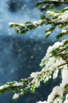 reaching branches. evergreen. snow falling. green blue white harmony. a winter moment. beautiful light.