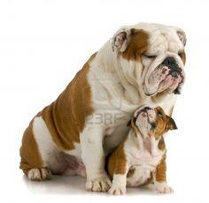 mi bulldog