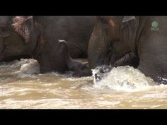 Elephant Protect Baby While Crossing The River https://www.youtube.com/watch?v=hz2AfRqfEFU