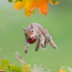 A squirrel jumps from one branch to another with a horse chestnut gripped firmly in its mouth