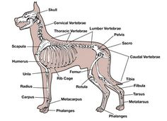 Bothell Pet Hospital: learn more from past veterinary medical cases of dogs and cats seen by our veterinarians Rib Cage Anatomy, Dragon Anatomy, Leg Anatomy, Animal Anatomy, Grey's Anatomy, Dog Chart, Dog Skeleton, Vet Assistant, Dog Leg