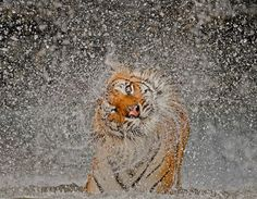 Tiger, water droplets -- Räjähdys (© Ashley Vincent, National Geographic Photo Contest)