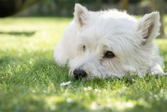 Top 4 Westie s for 2019 The Dog People by Rovercom bichon frise haircut styles - Haircut Style Best Small Family Dogs, Best Family Dog Breeds, Best Dogs For Families, Schnauzer, Akc Breeds, Puppy Cut, Rat Terriers, Terrier Mix, Lap Dogs