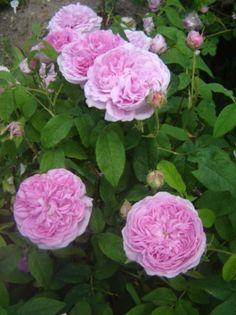 52. Rosa gallica Aimable amie (gallicaros)