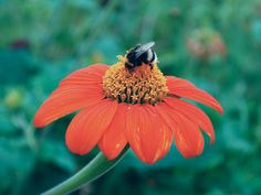 Tithonia Seeds for sale. Torch and Yellow torch tithonias. Heat, drought and deer resistant plants. Flower Seeds, Flower Pots, Red Flowers, Beautiful Flowers, Mexican Sunflower, Deer Resistant Plants, Hummingbird Garden, Seeds For Sale, How To Attract Hummingbirds