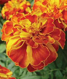 Marigold, Fireball