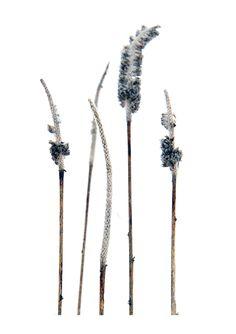timothy grass in winter (mary jo hoffman)