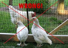New chickens should be confined to a dedicated pen away from the existing flock.