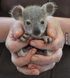 Baby koalas Are So Cute!